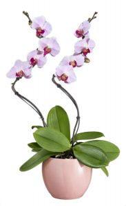 entretenir son orchid e comment le site de r f rence sur l 39 entretien des. Black Bedroom Furniture Sets. Home Design Ideas